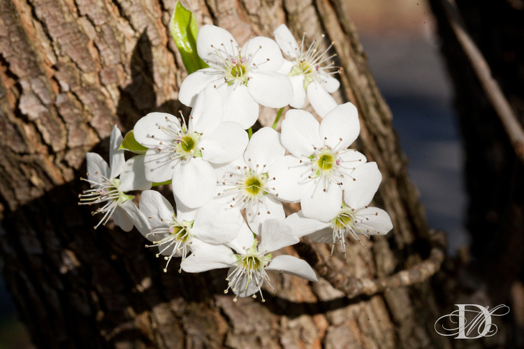 More Bradford Pear Blossoms ->click for previous